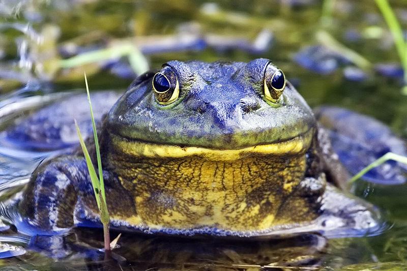 800px-Bullfrog_-_natures_pics