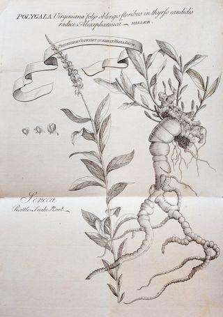 Seneca Snakeroot (illustration)