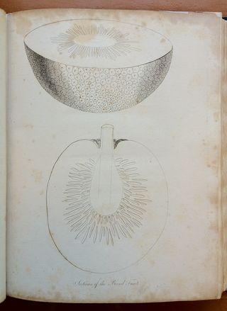 Breadfruit [illus]