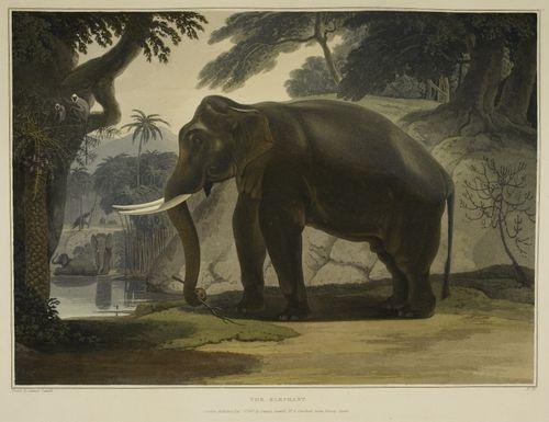 Elephant c13614-14