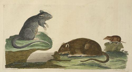 Rat 001813_small