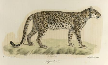 Leopard 076001