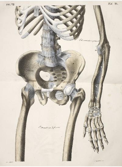 Anatomical drawings 2