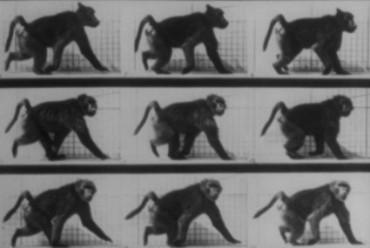 Baboon_running