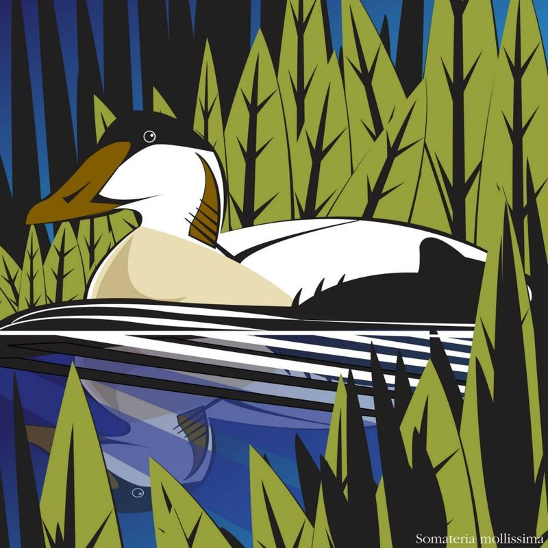 Common Eider_Electrographica