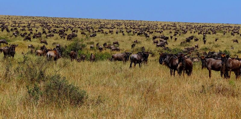 Wildebeest-during-Great-Migration