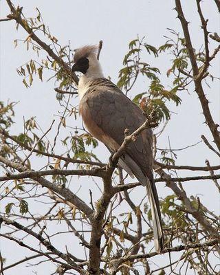 480px-Bare-faced_Go-away-bird_(Corythaixoides_personatus)
