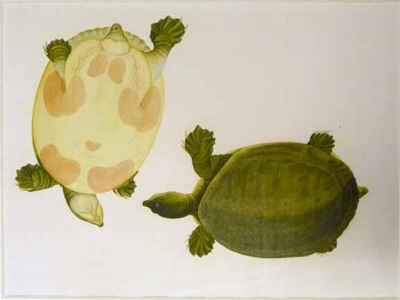 NHD 44_15 mud turtle