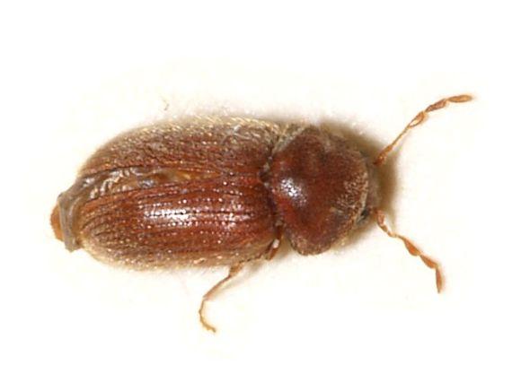 Biscuit beetle (Stegobium paniceum)