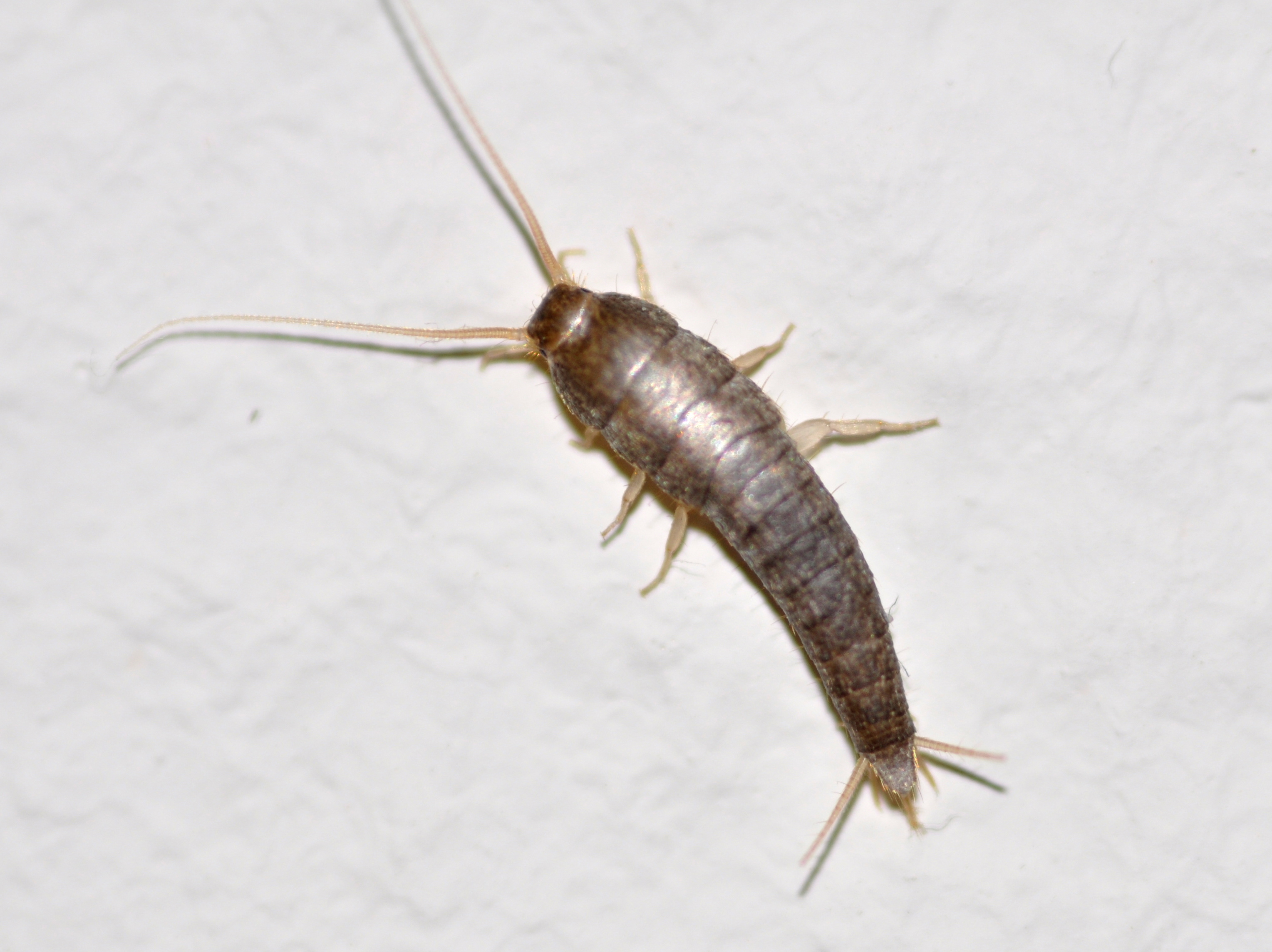 The silverfish interferes with life. Methods of insect control 82