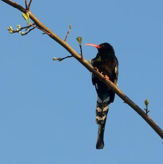 Phoeniculus_purpureus_-South_Africa-8a