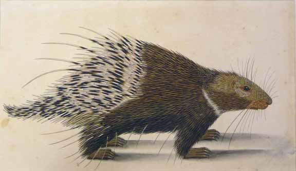 NHD 32_37 porcupine