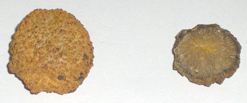 Nodules of iron pyrites