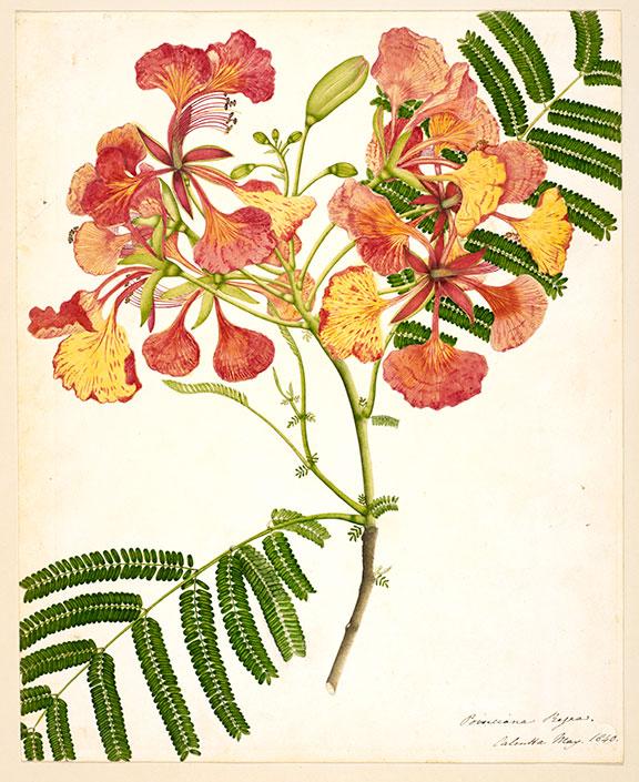 British-Library-NHD45_2_Flower