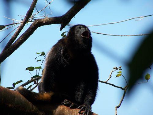 Dunn_howler monkey