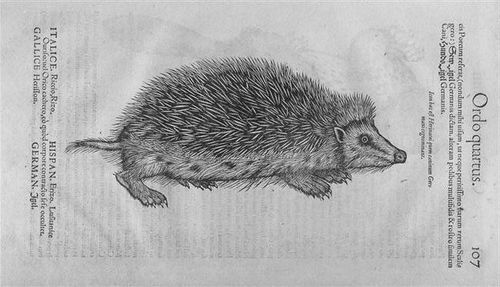 Gesner's Hedgehog
