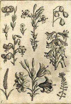 555.d.23.(3.), pl. 6 Adriaen Collaert Florilegium