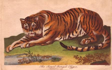 Tiger SibUni43