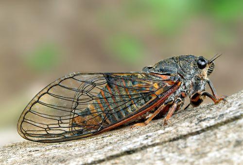 Cikáda chlumní - Cicadetta montana