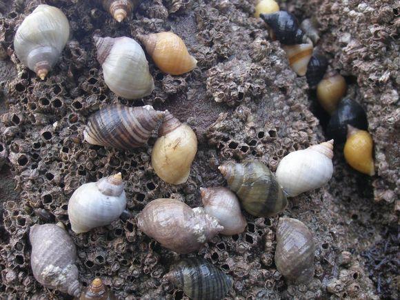 Sea snails & purple parchment