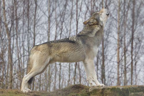 Torak howling 7 pat melton