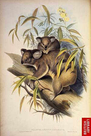 Koalaslge