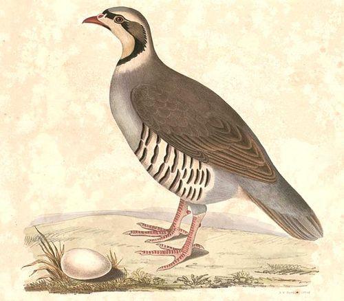 Chukar partridge Hardwicke