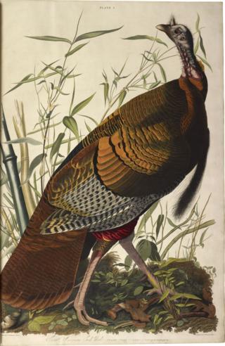 Audubon-birds-of-america-wild-turkey-plate1