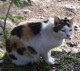 Japanese_Bobtail_Cat,_Japan